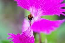 花びらを食べるウリハムシ