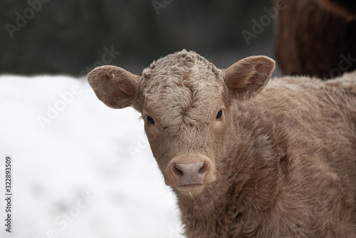 Charolais Calf Outside in Winter Wallpaper Mural