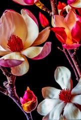 Fototapeta Kwiaty Magnolia tree in bloom in early spring