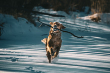 Dog Running With Stick In The ...