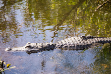 Alligator Swimming In The Ever...