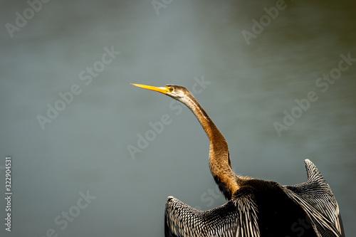 Obraz na plátne Oriental darter or Indian darter closeup basking in sun with full wingspan in ke