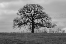 Spooky Tree And Fence On Horiz...