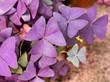 canvas print picture - Purple Shamrock in the Garden