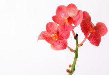 Red Orchids On White Background