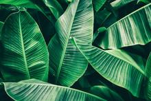 Tropical Leaf, Lush Green Banana Foliage In Rainforest, Nature Background