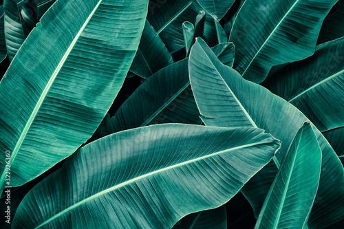 Fototapeta tropical leaf, lush green banana foliage in rainforest, nature background
