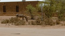 A Grey Donkey Along The Main R...