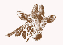 Graphical Portrait Of  Giraffe ,vector Sepia Illustration