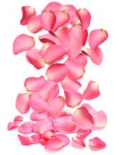 Falling Fresh Pink Rose Petals On White Background