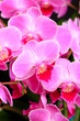 canvas print picture - Pink orchid close up view on black background. - Image