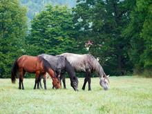 Horses Grazing Is Green Pasture
