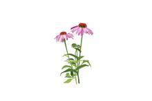 Stem Pink Echinacea Coneflower...
