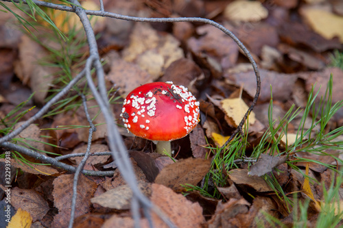 Amanita muscaria, commonly known as the fly agaric or fly amanita Wallpaper Mural