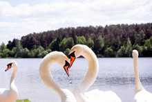 Couple Of The White Swans On The Lake Kissing And Posing