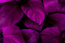 Leaves Of Spathiphyllum Cannifolium, Abstract Purple Texture, Nature Background, Tropical Leaf