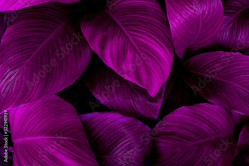 Fototapete - leaves of Spathiphyllum cannifolium, abstract purple texture, nature background, tropical leaf