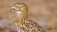 Spotted Thick Knee Bird Sleeping While Standing On The Ground In Africa - Closeup Shot