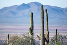 Cactus Forest In Sonoran Desert, Arizona