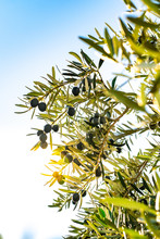 Branches Of An Olive Tree With Sun Rays Penetrating Through The Leaves