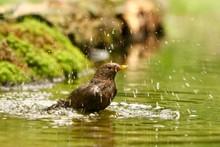 Closeup Shot Of A Cute Blackbird In A Lake With A Blurred Background