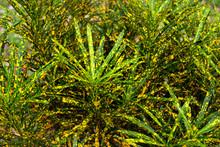 Codiaeum Variegatum, Or Garden Croton Plant