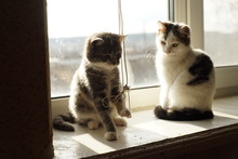 Two Cute Kittens Play With A Rope Of Blinds On A Sunny Windowsill.