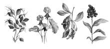Hand Drawn Botanical Illustrat...
