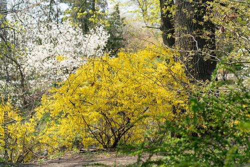 Fototapeta First spring flowers in the park, yellow forsythia shrub