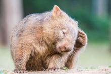 Junger, Wilder Wombat In Austr...
