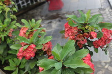 Crown Of Thorns Flower From We...