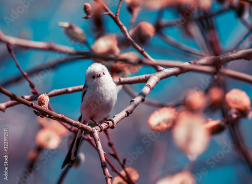 Fotografie, Obraz natural background with a long-tailed tit sits in a Sunny may spring garden amon