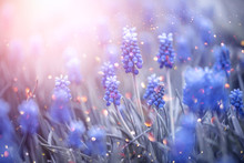 Spring Muscari Hyacinth Flower...
