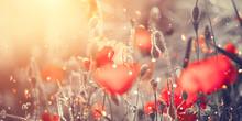 Beautiful Poppy Flowers Bloomi...