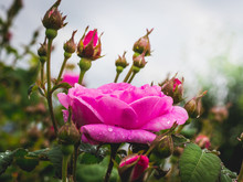 Pink Rose With Raindrops On Bu...