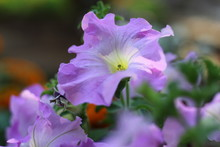 Ipomoea Violacea Is A Perennial Species Of Ipomoea That Occurs Throughout The World With The Exception Of The European Continent. It Is Most Commonly Called Beach Moonflower Or Sea Moonflower As The F