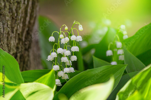 Obraz Lily of the valley (Convallaria majalis), blooming in the spring forest, close-up - fototapety do salonu