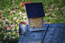 Red Bellied Woodpecker Sits On...