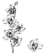 Orchid Cymbidium - Pen And Ink Illustration