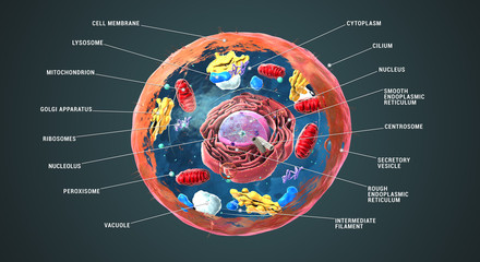 Panel Szklany Do szkoły Labeled Eukaryotic cell, nucleus and organelles and plasma membrane - 3d illustration