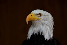 Portrait Of The Bald Eagle (Ha...