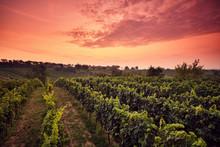 Vineyard At Sunset With Dramat...