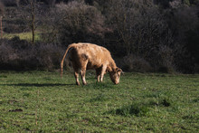 Young Brown Cow Pooping While Eating Grass