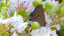 Amid Nature - Red Lined Hairstreaked Butterfly On Crape Myrtle