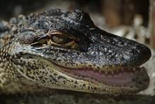 Closeup Shot Of A Juvenile Alligator With A Blurred Background