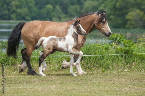 "Slika na platnu ""Cherokee and 09 foal""  Laura Robideau, Lake Ridge Gypsies"