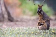 Wallaby Im Kangaraoo Island Wi...