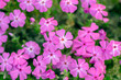canvas print picture - Creeping moss phlox subulata flowering small plant, beautiful flowers carpet of mountain phlox flowers in bloom, ground covering