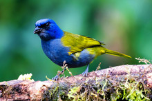 Blue-capped Tanager, Thraupis Cyanocephala, Exotic Bird Sitting On The Branch In The Green Forest. Tropic Tanager In The Nature Habitat At Colombia, South America. Tanager In The Nature Green Habitat
