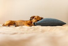 Dachshund Dog Relaxing Like A Human With The Head On The Pillow. Red Wiener Dog Cuddle On The Bed.